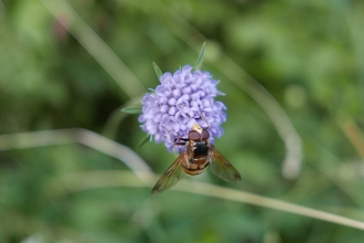 Devil's bit scabious and hoverfly