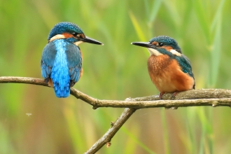 Pair of kingfishers on tree branch