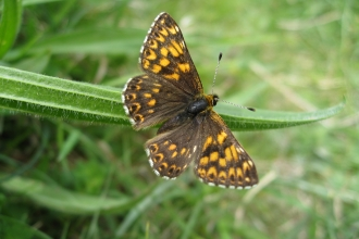 Butterfly Duke of Burgundy