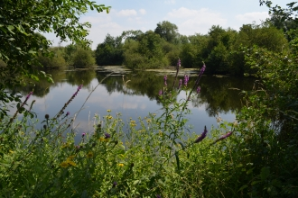 A view across the water with trees, purple loosestrife and a white butterfly