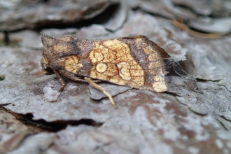A frosted orange moth on leaf litter