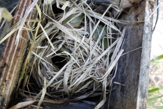 Dormouse nest in box