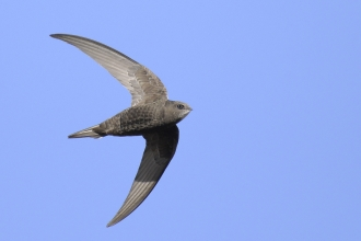A swift in flight against a bright blue sky