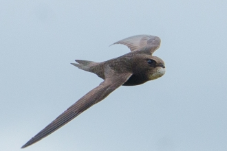 A swift in flight against a pale blue sky