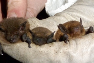 Bats nathusius common and soprano pipistrelles