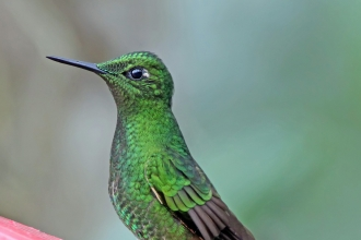 Hummingbird - Buff-tailed Coronet