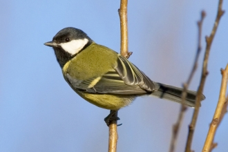 Great tit - Jamie Cooper