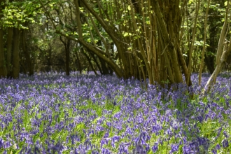 Brampton Wood Bluebells