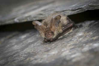 Long Eared Bat - Tom Marshall