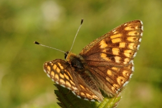 Duke of Burgundy in the sun with its wings outspread