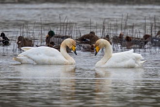 A pair of whooper swans face to face on the water at Pitsford