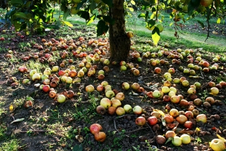 Apples - windfall apples