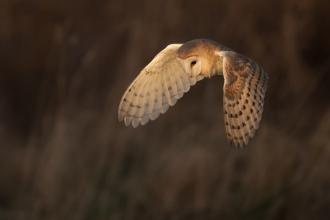 A barn owl in flight, looking down