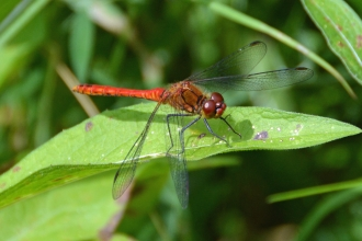 Dragonfly at Felmersham