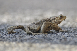 Toad crossing the road by John Bridges