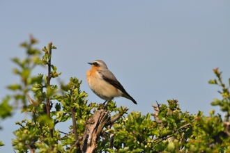 Bird Wheatear
