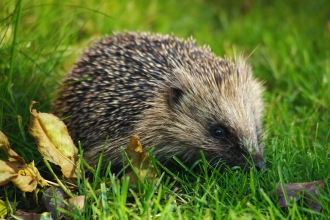 Hedgehog by Gillian Day from Wild Net