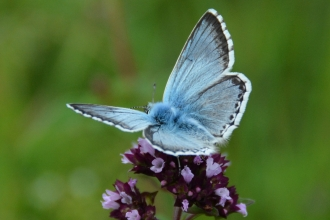Butterfly - Chalk Hill Blue