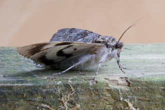 Clifden nonpareil moth at Pitsford Water