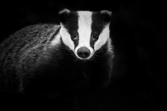 Badger, Northampton by Rebecca Fulcher