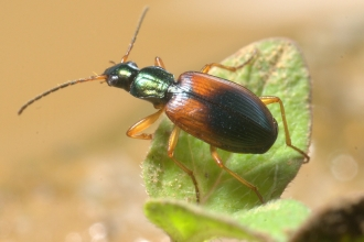 Ground beetle - BE