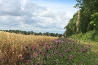 Jordans Farm Partnership - Oat field with knapweed margins