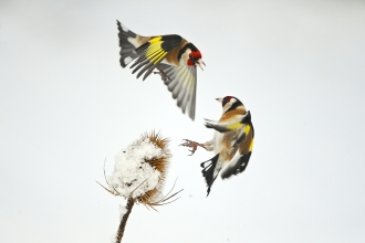 GOldfinches in snow by Mark Hamblin 2020VISION