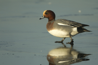 Male Wigeon - Dabbling Ducks