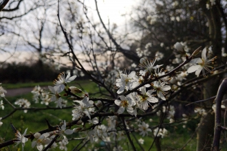 Blackthorn flowers 2 by Rebecca Neal