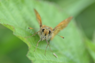 Large skipper - Ryan Clark