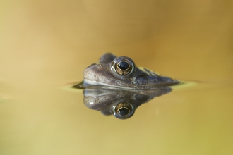 Common frog by Mark Hamblin/2020VISION