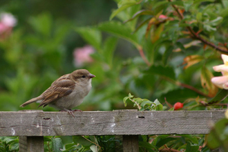 Juvenile house sparrow by Ian Rose