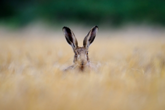 A hare hiding in long grass.