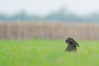 Brown hare by Kevin Lunham