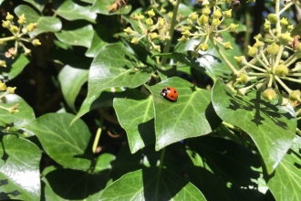 ladybird on ivy by Adam Watts