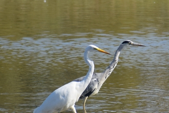 Grey heron and great white egret stepping out together