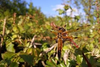 Four spotted chaser dragonfly by Rebecca Neal