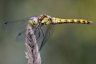 Common darter dragonfly perched with wings forward
