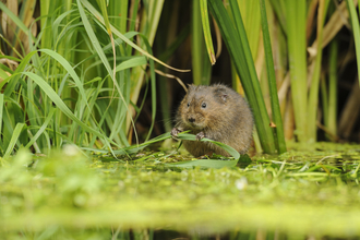 Water vole - Terry Whittaker
