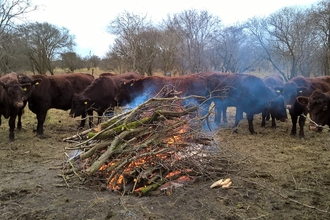 Cows gather around the fire on a volunteer task at Galley Hill