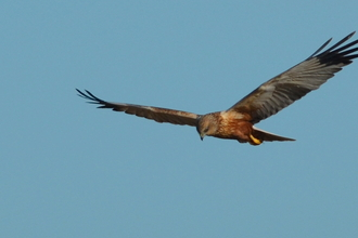 Marsh harrier - Adam Jones