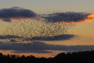 Starlings against a darkening sky