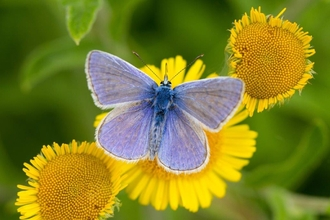 Common Blue Butterfly c. Matthew Hazleton