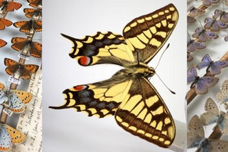Cambridge University Museum of Zoology butterfly collection