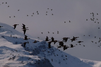 The Fall, Rise, and Fall of the Greenland White-Fronted Goose