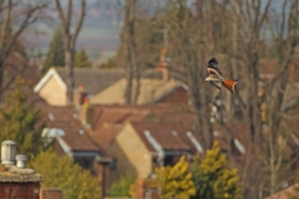 A red kite flies over rooftops