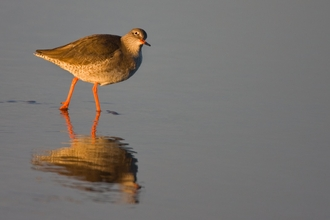 A redshank wading in shallow water