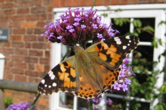 Painted lady in front of a window