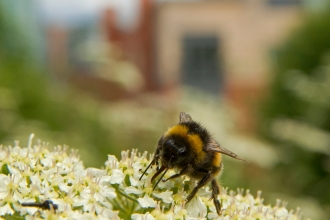 A bee on cow parsley with buildings in the background