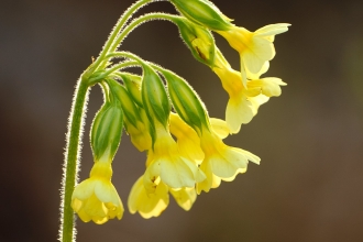 About half the country's Oxlips grow in our three counties